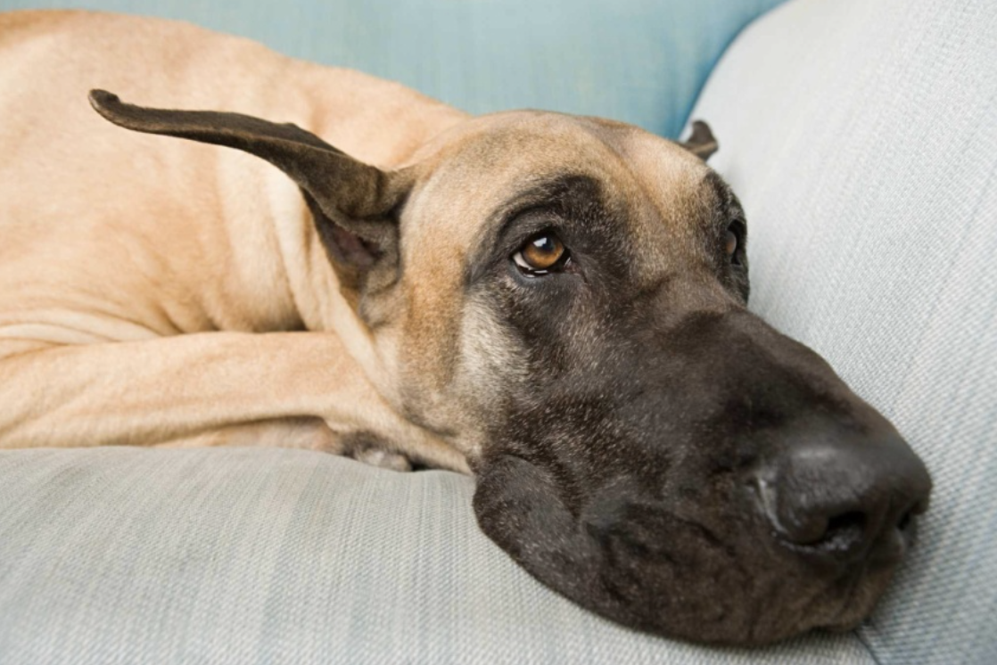 Great Dane's typically get twisted stomachs - which the gastropexy surgery avoids